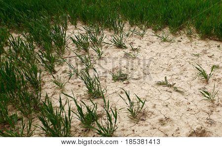 Crop fields in Norfolk damaged by wind and soil erosion