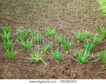 Onion rows in the garden planted for seed production and also for green leaves