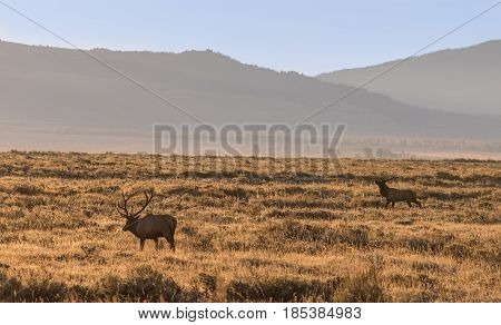 a big bull elk in a field during the fall rut in Wyoming