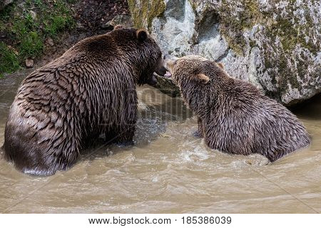 A couple of brown bears are teasing in the water. Swallow bears. Close-up view of the bears in the lake. Portrait of a brown bear. Brown bear couple cuddling in water.