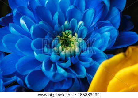Blue Chrysanthemum As Background. The Blue Chrysanthemum Flower, Close Up, Macro. White Flower Close