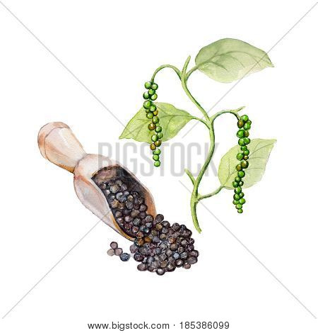 The national spice black pepper with a plant on white background watercolor illustration in hand-drawn style.