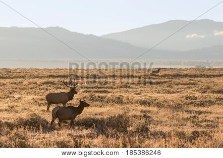 a bull and cow elk during the fall rut in Wyoming
