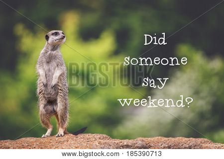 Cute meerkat standing upright on rock, asking the question Did someone say weekend? Trendy retro style matte processing.