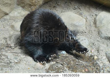 A large active wolverine in the outdoors