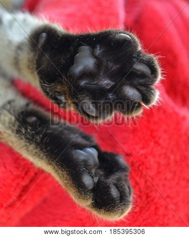Paws of a Bengal cat are photographed close-up