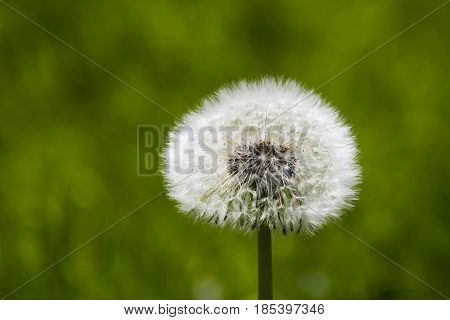 Isolated overblown dandelion on meadow with green grass