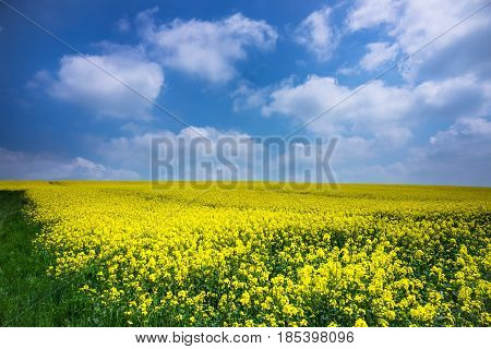 Agriculture Field With Oilseed Rape