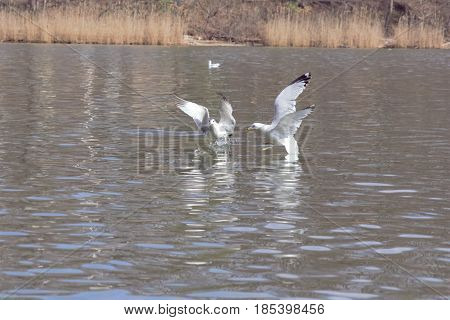 Two birds flying just above the water surface