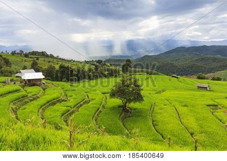 Fresh green rice terrace field with big tree and cloudy sky in rainy season at Baan Pa Bong Pieng northern of Chiang Mai Thailand.