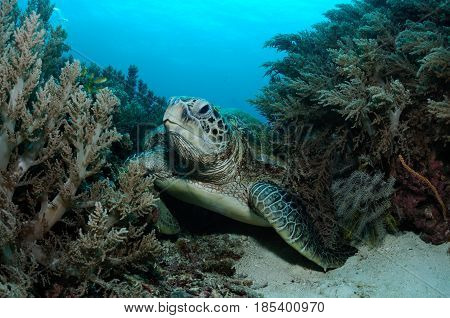 Sea turtle is resting on a bottom among soft coral bushes, Balicasag island, Philippines