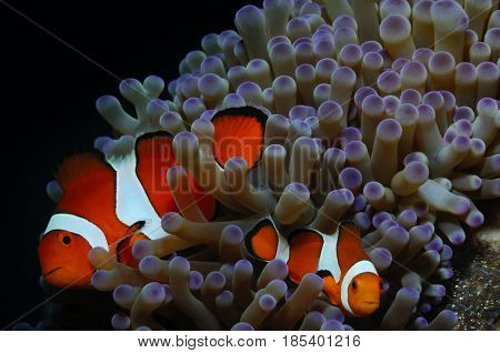 Couple of clownfish (Western clownfish (Ocellaris Clownfish False Percula Clownfish)) are protecting their eggs Panglao Philippines
