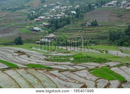 Terraced Rice Field In Northern Vietnam