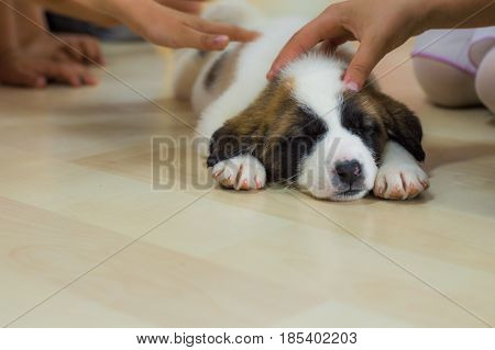 Closeup photo of sleeping Saint Bernard puppy laying on the floor caressed by children hands