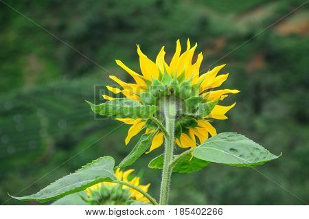 Sunflower Blooming On The Hill At National Park