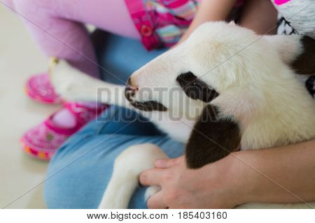 Closeup of a lamb head sitting on woman lap in a classroom on a animal day event.