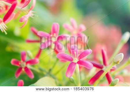colorful flowers Quisqualis indica flowers Combretum flowers in the garden blossom flowers flora