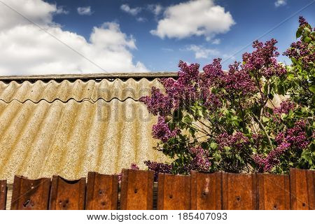 Lilac bush on the banks of a beautiful lakethe lilac Bush