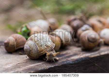 Many Helix pomatia or Burgundy snail Roman edible or escargot crawls on a wooden board. The snail stuck out its antennae. Snail in the habitat.