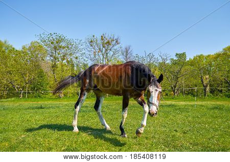 Horse on the green grass a nd blue sky