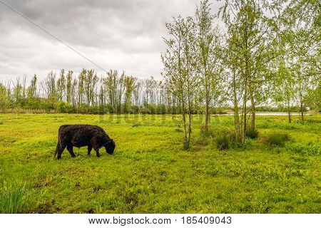 Strong dark brown colored Galloway bull with a curly winter coat grazes peacefully in the fresh green grass of a small nature reserve. It is a cloudy day in the spring season.