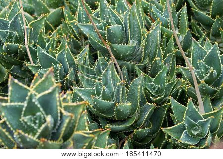 Closeup of Wet Mitre Aloe, also known as rubble aloe with yellow spikes (Aloe Mitriformis) in Tasmania, Australia
