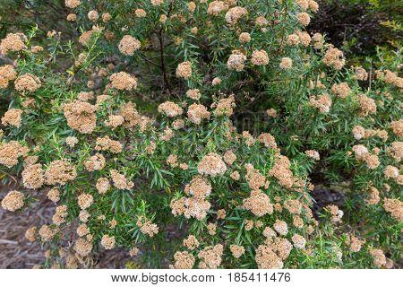 Flowers of tree everlasting shrub, Ozothamnus ferrugineus growing in high heathy scrub in Tasmania, Australia