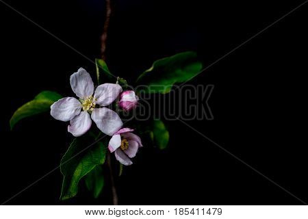 Apple blossom flowers close up isolated on a black background shallow depth of field low key selective focus