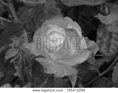 Single rose flower with water droplets in spring . Black and white photo