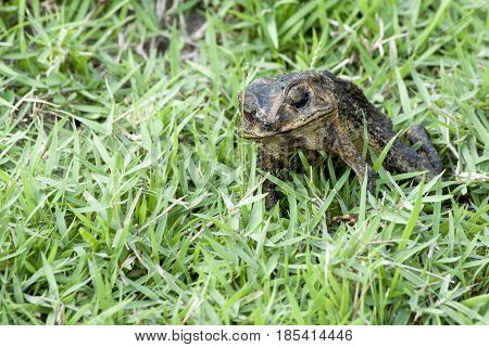 Toad stands dead on the lawn calmly.