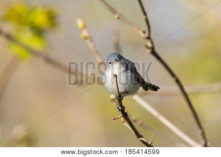 A Blue-gray Gnatcatcher perched on a branch during the spring migration in Wisconsin.