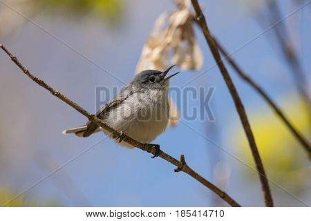 A Blue-gray Gnatcatcher singing from a branch during the spring migration in Wisconsin.