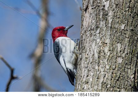 A Red-headed Woodpecker perched on a tree during spring migration in Wisconsin.