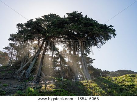Bright sun beams stream from branches and trunks of large fir or pine trees on coast by Baker Beach San Francisco Bay in California