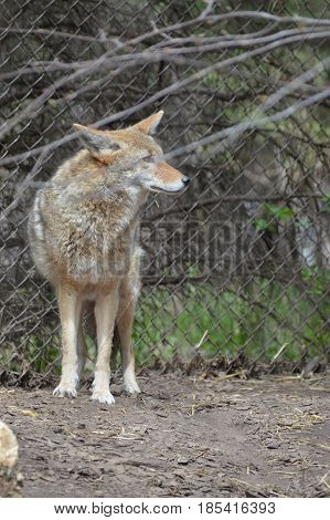 A coyote standing out in the woods