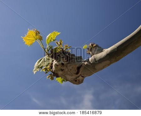 Pollarded branch of tree with new green shoots and leaves sprouting from pruned end in spring