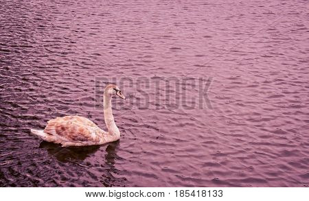 Signet swan sails serenely on the lonely water at dusk