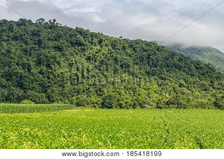 Soy Plantation And Forest