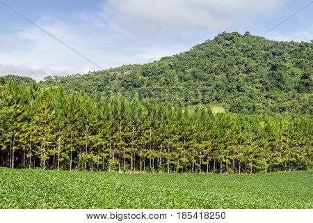 Soy Plantation And Pine Forest