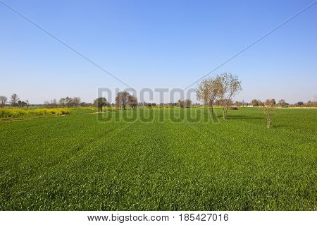 Wheat And Mustard In Rajasthan