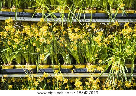 Daffodils on a row at a market in the spring placed in flower pots on a shelf