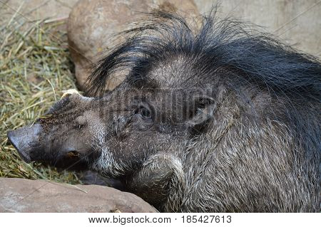 Close up of a Visayan Warty Pig