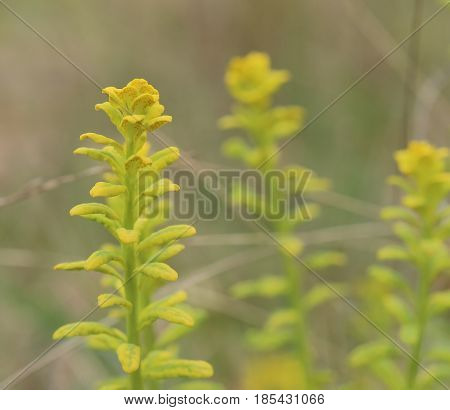 Euphorbia Cyparissias, The Cypress Spurge, Infested By The Fungus Uromyces Pisi-sativi