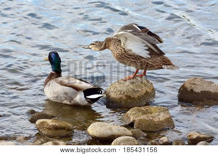 Mallard duck pair on rocky edge of lake shore with hen spreading and stretching out her wings