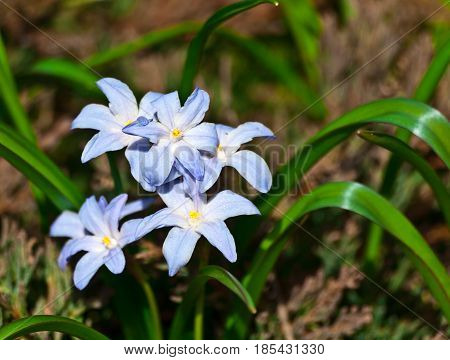 Scilla luciliae is cultivated as an ornamental flowering plant, flowers are light blue, veins of petals are bluish-violet, white stamens, yellow pollen, in inflorescence up to five flowers
