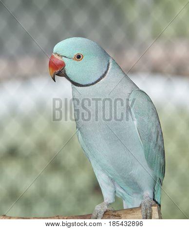 Indian Ringneck Parakeet at Sarasota Jungle Garden