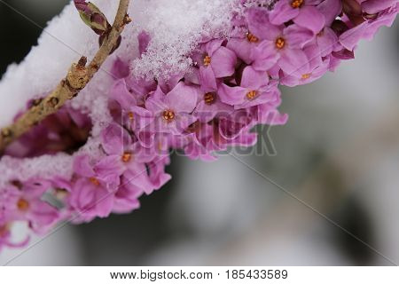 Daphne Mezereum, Commonly Known As February Daphne, In Snow