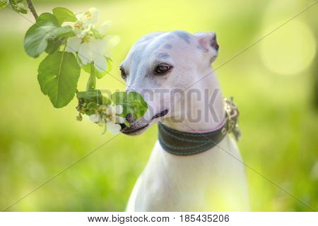 Portrait of white little hunter dog in bright green and spring blossom