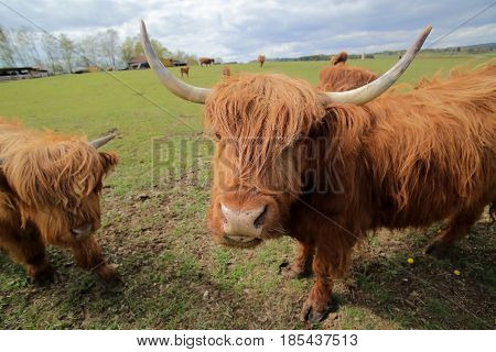 Wide Angle Shot Of A Highland Cow