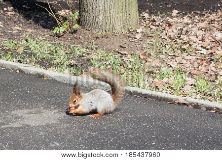 Squirrel gnaws a nut, a beautiful cute little animal
